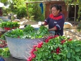 Washing and bundling delicious Oaxaca radishes